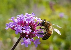 Honey bee on Verbena Bonariensis