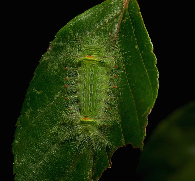Stinging Nettle Slug Caterpillar, Sony DSC-R1