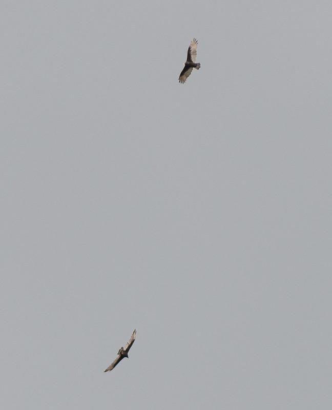 pair_turkey_vultures_grey_sky-20170910-100