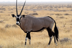 Gemsbok (Oryx gazella), Etosha NP, Namibia