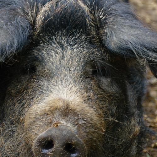 Not exactly cute little piggy