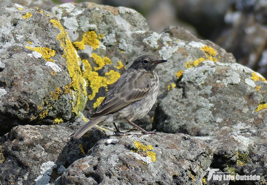P1100395 - Rock Pipit, Isle of Mull