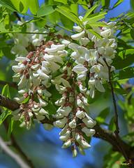 Black Locust (Robinia pseudoacacia) (DFL0842)