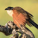 Coppery Tailed Coucal - Centropus cupreicaudus