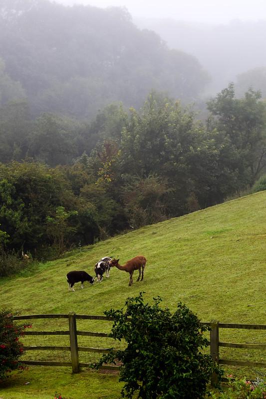 Två lamm och en alpacka står på en sluttande kulle med dimma i bakgrunden i Wales