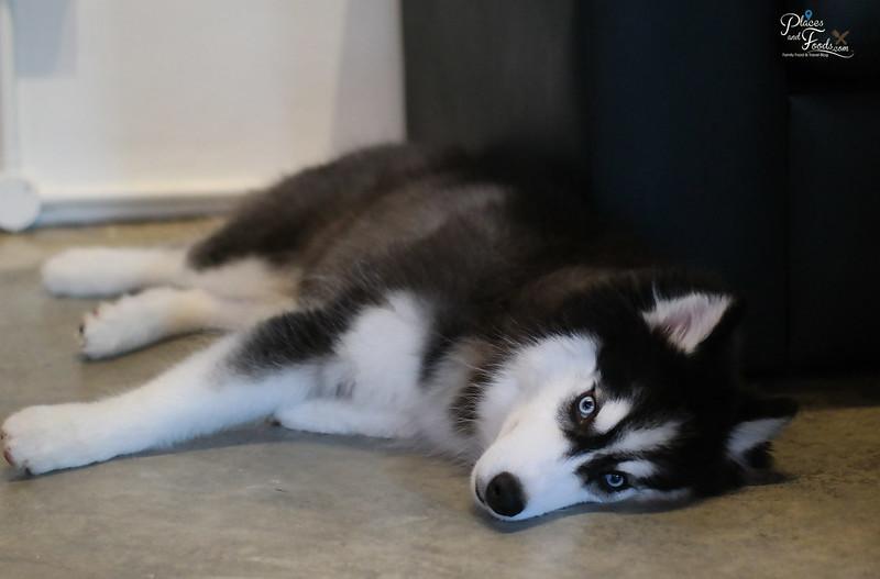 huskiss cafe puppy