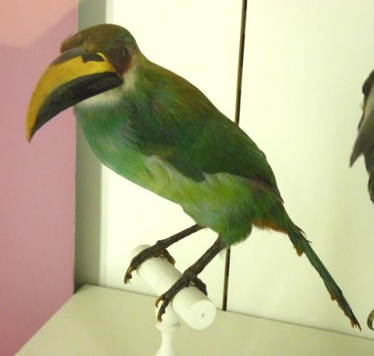 Aulacorhynchus prasinus 36810127155_7470a55386_o