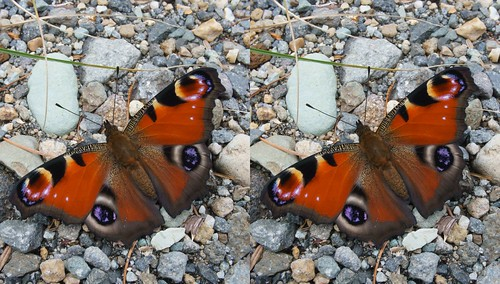 Inachis io, stereo parallel view