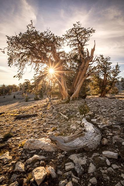 Patriarch Grove Sunrise