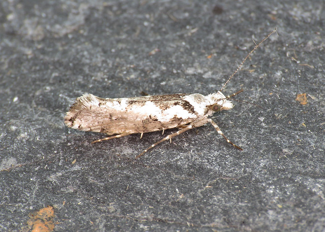 17.012 Ypsolopha sequella