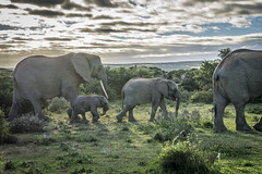 Elephant Family - Shamwari Game Reserve - South Africa