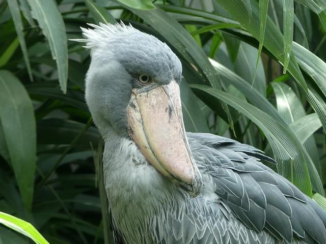 Schuhschnabel, Zoo Prag
