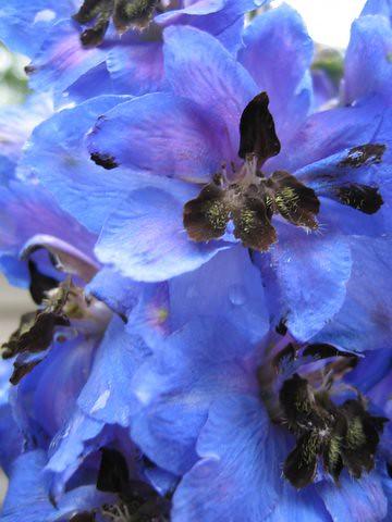 18 blueflower