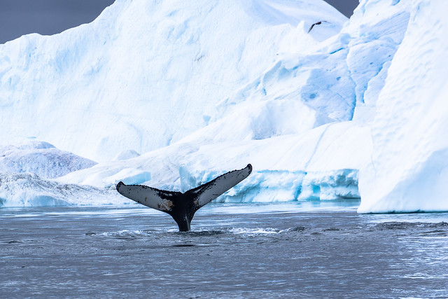Whale Watching - The Fluke