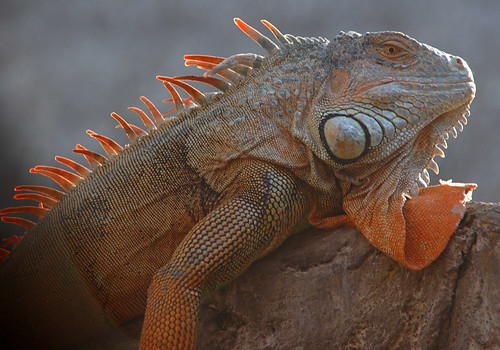 Orange iguana relaxing on a rock in Mexico