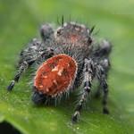 Phidippus adumbratus ♀