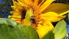 Sunflower & Bee XI