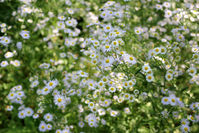 same clump of flowers but zoomed way in to focus on several in front, with many more blurred in a sunny background