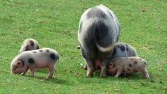 Cerza Zoo - piglets (4)