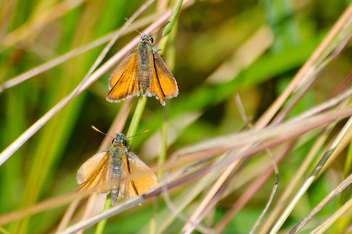 Pair of skipper butterflies on grass stem