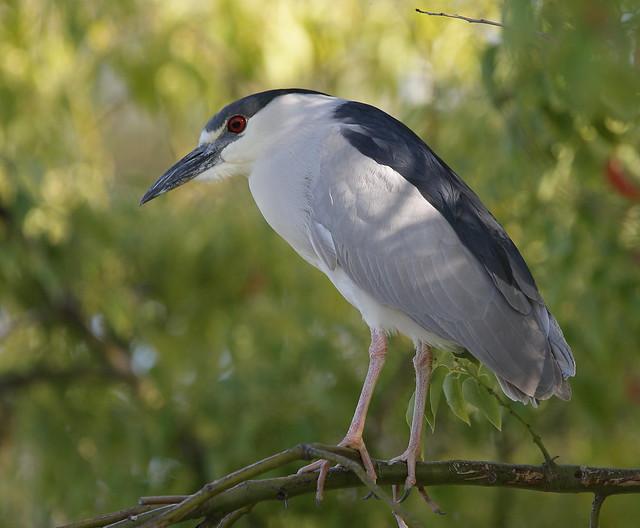 1DM37870 View Large. Black Crowned Night Heron. Temecula, California