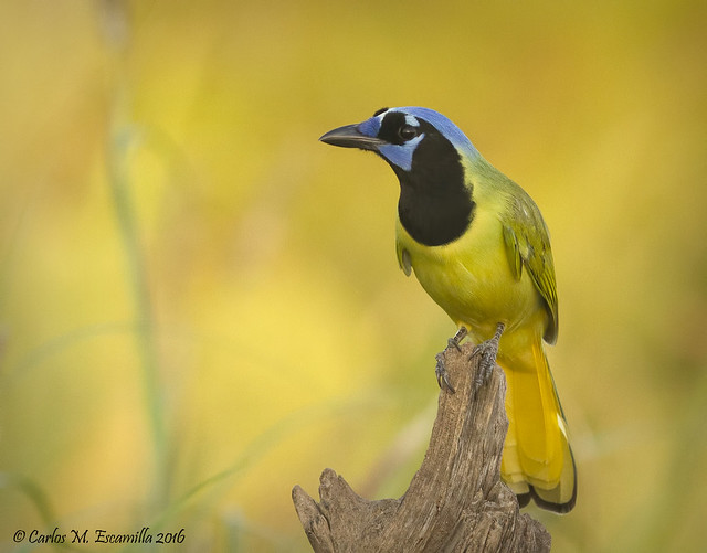 Green Jay IMG_0646edtvg, Canon EOS 7D, Canon EF 300mm f/2.8L IS