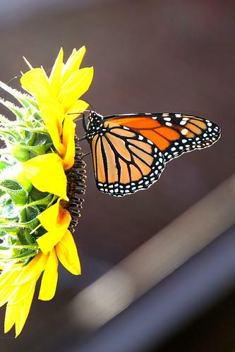 DSC09067  - Garden Monarch