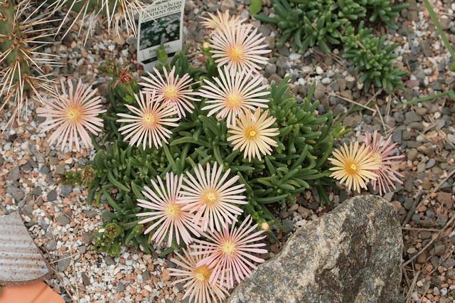 Delosperma-blossoms_091317_0187