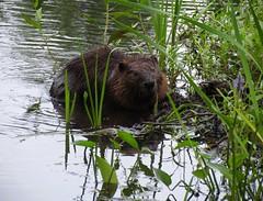 Beaver at Assabet River National Wildlife Refuge