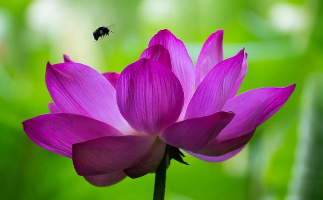 Lotus flower I, Sony SLT-A58, Sony DT 55-300mm F4.5-5.6 SAM (SAL55300)