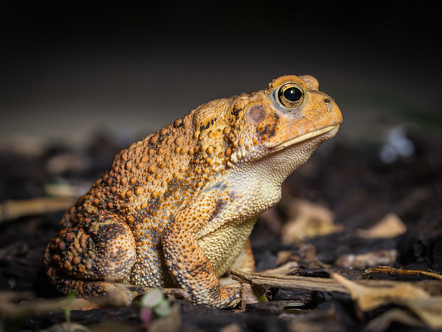 eastern american toad, Canon EOS 6D, Canon EF 100mm f/2.8L Macro IS USM