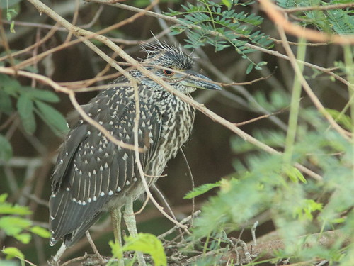 Yellow-crowned Night-Heron juvenile 20170904