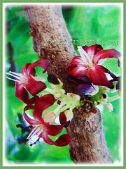 Beautiful fragrant and 5-petaled purplish-red flowers of Averrhoa bilimbi (Bilimbi, Bilimbi Tree, Cucumber Tree, Tree Sorrel, Belimbing Asam/Buloh in Malay), 19 Aug 2017