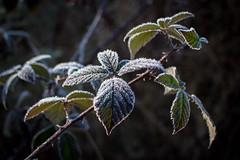 Frosty blackberry leaves