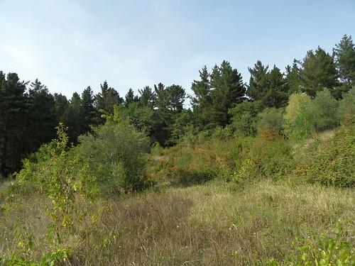 San Biase (Sa) Statale 18 - Pinus radiata _ aprile 2015