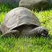 Small photo of Aldabra Tortoise