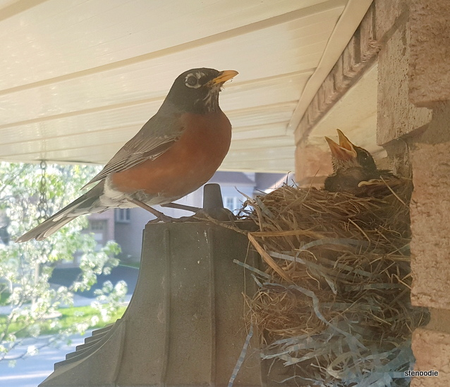 robin and her nest