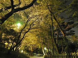 千葉公園 野球場の夜桜03