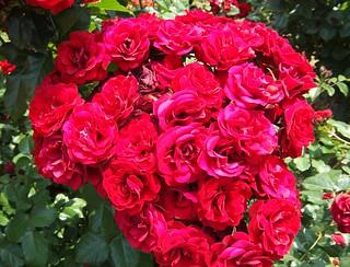 谷津バラ園の薔薇 12