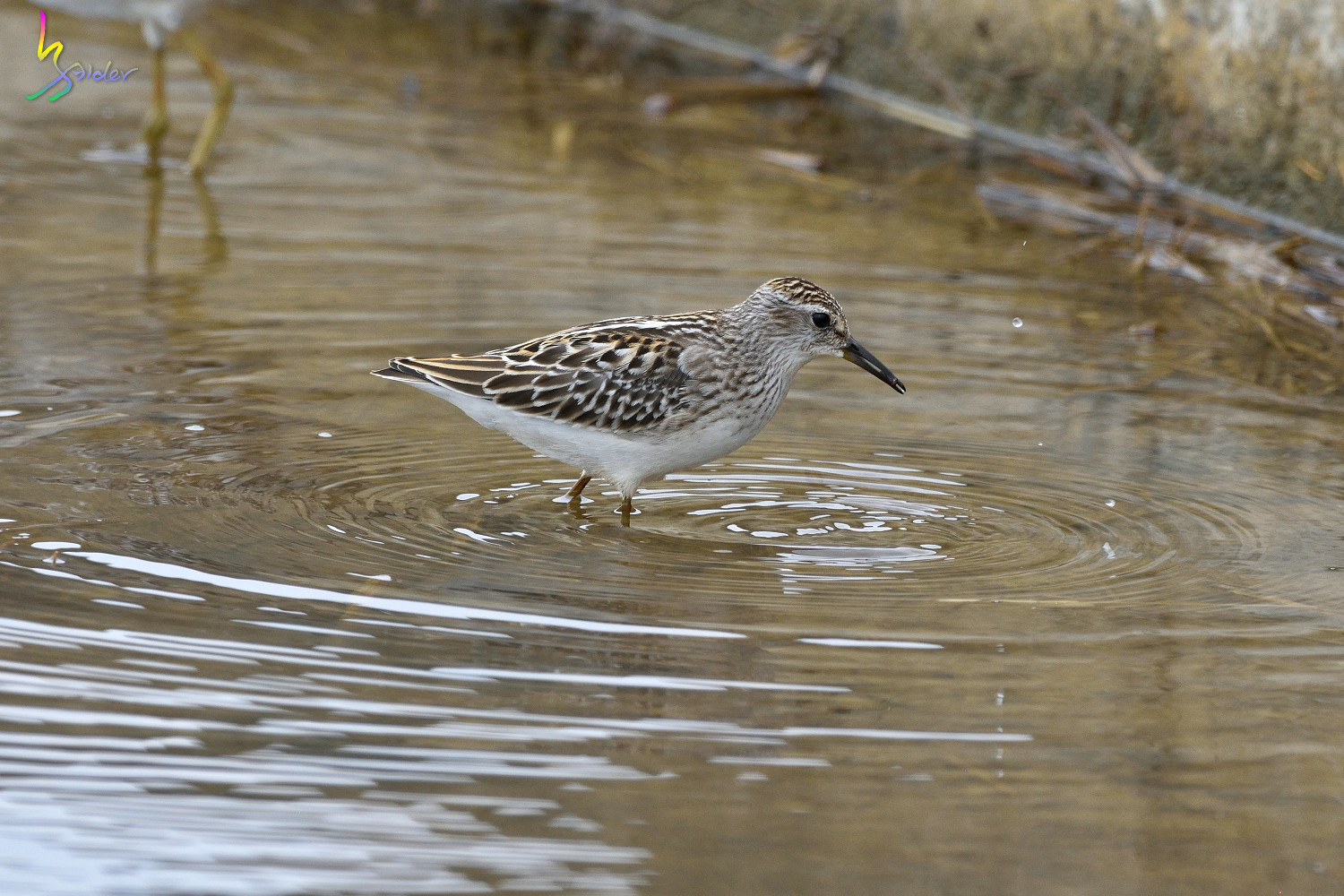 Long-toed_Stint_5851
