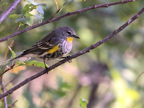 Yellow-rumped Audubon's Warbler 01-20170911
