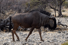 Blue Wildebeest (C t Albojubatus), Etosha NP, Namibia
