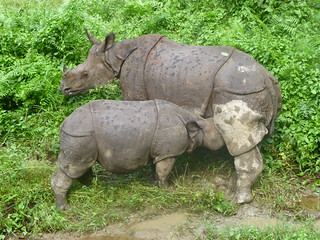 Mother and baby Indian Rhinos in Nepal