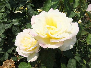 谷津バラ園の薔薇 09