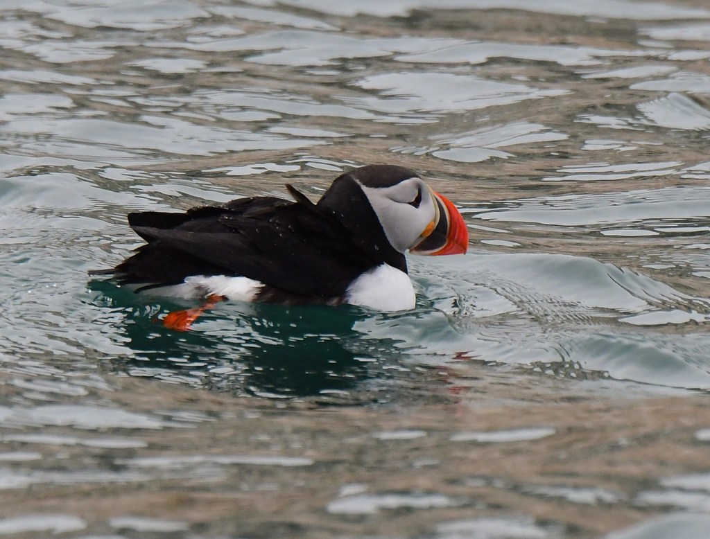 An Atlantic puffin at Hornsund, Spitsbergen