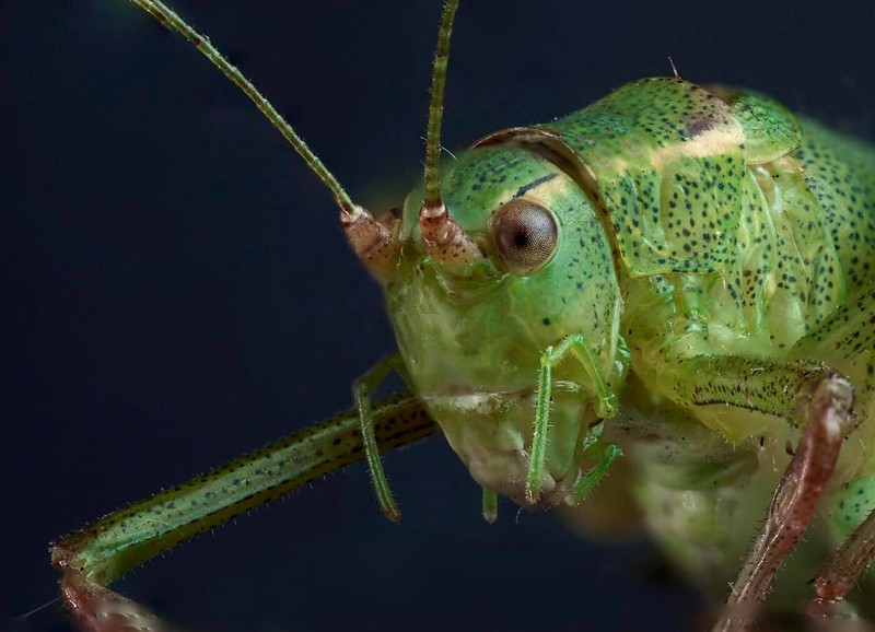 Speckled Cricket