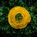 Yellow Swirl by allie.hendricks.photography