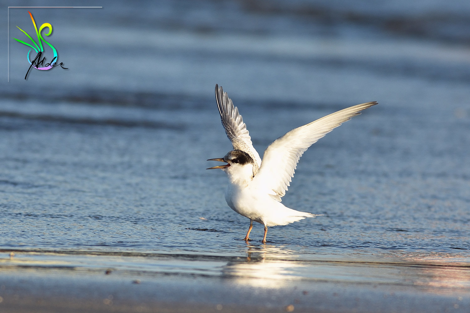 Little_Tern_3564