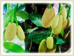 A prolific fruiting tree of Artocarpus integer (Chempedak, Cempedak, Champada, Champekak, Chempedak Utan), 2 Sept 2017