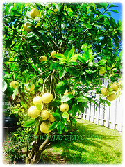 Citrus x paradisi (Grapefruit, Paradise Citrus) can reach 4.5-6 m tall with age, 14 Aug 2014